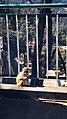 Shimla monkey4.jpg