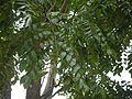 Shingle tree (4934774541).jpg