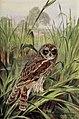 Short-eared Owl-PHOB 0085.jpg