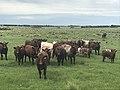 Shorthorn bull, cows & calves.jpg