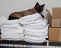 Siamese cat on white towels.png