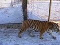 Siberian tiger, Harbin, China (3237652091).jpg