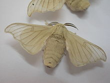 Silk worm adult01.JPG