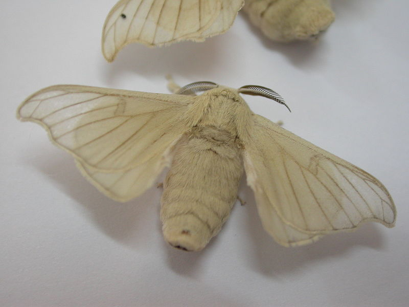 Silk worm adult01
