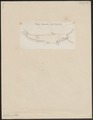 Silurichthys sinensis - 1700-1880 - Print - Iconographia Zoologica - Special Collections University of Amsterdam - UBA01 IZ14600035.tif