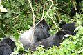 Silverback gorilla (290813335).jpg