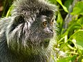 Silvered Leaf Monkey (Trachypithecus cristatus) eating leaves (15596893030).jpg