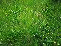Sisyrinchium angustifolium01.jpg