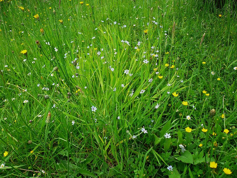 File:Sisyrinchium angustifolium01.jpg - Wikimedia Commons