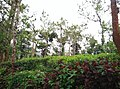 Sitargundu Estate, Kollengode South, Kerala 678508, India - panoramio (13).jpg