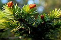 Sitka-Fichte (Picea sitchensis) 6195.JPG