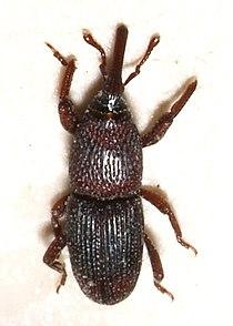 Sitophilus.granarius.jpg