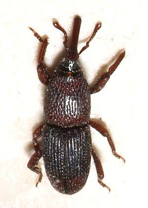 Sitophilus granarius
