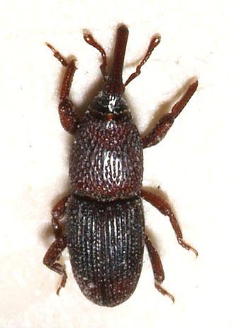 Sitophilus - Sitophilus granarius