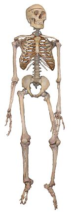 Human skeleton - Wikipedia, the free encyclopedia