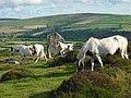 Skewbald ponies in the evening sunshine - geograph.org.uk - 1428065.jpg