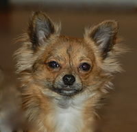 Chihuahua Dog Wikipedia The Free Encyclopedia