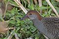 Slaty-breasted Rail Gallirallus striatus East Kolkata Wetland West Bengal India 24.01.2013.jpg
