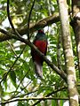 Slaty-tailed Trogon - Flickr - treegrow.jpg