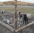 Sled Dogs in Svalbard (2003) 03.jpg