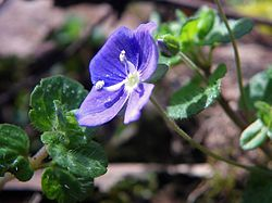 Slender Speedwell (Veronica filiformis) in Stevenage.jpg