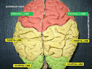 Frontal lobe - Image: Slide 1bb