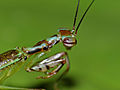 Small Mantis (Hapalopeza sp.) close-up (15423846890).jpg