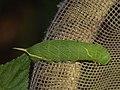 Smerinthinae sp. (larva) (40698542364).jpg