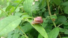 File:Snail moving across leaves.webm
