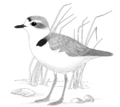 Snowy Plover.png