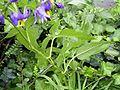 SolanumDulcamara-blad-sm.jpg