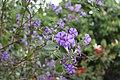 Solanum G 2214.jpg