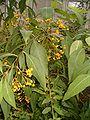 Solanum argentinum Solanum chroniotrichum BotGardBln271207A.jpg