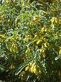 Sophora cassioides 2c.JPG