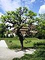 Sophora japonica Pendula Botvrt PMF Zg 0509.jpg