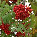 Sorbus aucuparia fruits.jpg