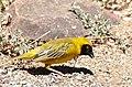 Southern Masked-Weaver (Ploceus velatus) male (31810422954).jpg