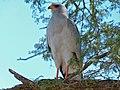 Southern Pale Chanting Goshawk (Melierax canorus) (7002986931).jpg
