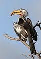 Southern Yellow-billed Hornbill, Tockus leucomelas, at Elephant Sands Lodge, Botswana (31475265863).jpg