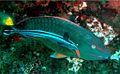 Sparisoma viride and Echeneis sp. in Madagascar Reef.jpg