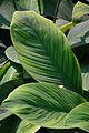 Spathiphyllum - Alipore - Kolkata 2013-02-10 4656.JPG