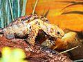 Speckled Padloper - Homopus Signatus 4.jpg