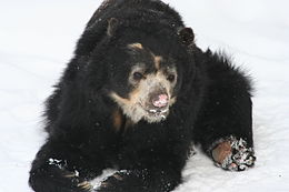 Spectacled Bear - Buffalo Zoo.jpg