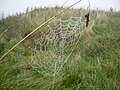 Spiders web affected by sea fret - geograph.org.uk - 247162.jpg