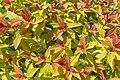 Spiraea Poprocks Rainbow Fizz, Saanich, British Columbia, Canada 03.jpg