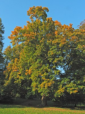 Spitzahorn – Wikipedia