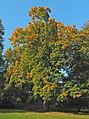 Spitz-Ahorn (Acer platanoides) 1.jpg