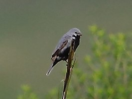 Sporophila melanogaster - Black-bellied seedeater (male).jpg