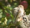 Spotted flycatcher (50518962108).jpg