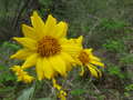 Spring Okanagan Sunflower (Balsamorhiza sagittata) in East Knox Mountain Park.png